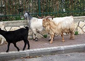 Goats in Bnei Brak, Israel