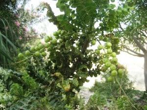 frankincens from Ein Gedi botanical garden